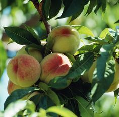 Learn how to plant, grow, and harvest peaches with this growing guide from The Old Farmer's Almanac.