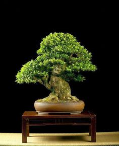 Bonsai banyan tree price in bangalore dating