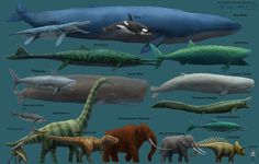 The blue whale is not only the largest animal alive currently, but is likely the largest animal ever to have lived.  Depending on the location, blue whales can grow to be 33 meters (108 feet) and weigh as much as 181 metric tons (200 imperial tons).They can live to be 90 years old and ingest about 3.6 metric tons (4 imperial tons) of krill each day. Blue whale are considered endangered by the IUCN. Image via: Harry Wilson