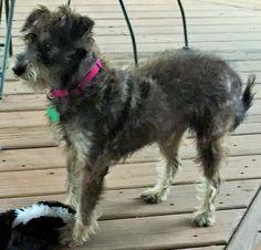 Lost Dog - Schnauzer Miniature - Tomball, TX, United States 77375