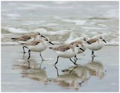 Sandpipers in the Surf Outer Banks North Carolina by orangecatart