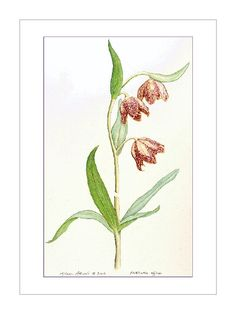 Chocolate Lily, Fritillaria affinis