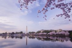 Cherry Blossoms | Washington DC