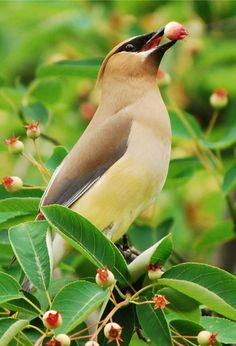 Cedar waxwings stopped in today for a berry snack