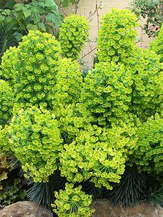 Euphorbia characias 'Dwarf'