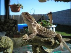 Caring for Your Reptile While on Vacation: Spike - Bearded Dragon