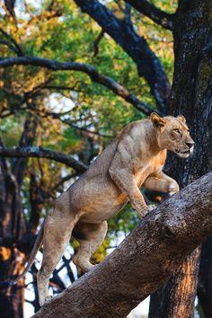 desvre animals lion