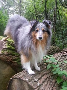 Blue Merle in the woods