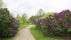 Lilac trees for privacy
