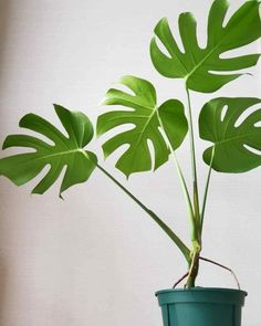 How to Care For Monstera Deliciosa Plants Indoors - Modern Design Monstera Deliciosa, Buy Plants Online, Cheese Plant, Plant Information, Plant Needs, Garden Seeds, Potting Soil, Tropical Plants, Plant Care