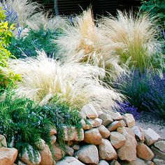 Grasses (mexican feather) mixed with lavendar and rosemary for low-water landscaping
