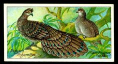 "Player's Cigarettes - ""Nature Series"" (set of 50 issued in 1909) No29 Grey Peacock Pheasant."