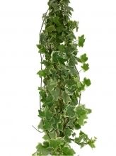 Ivy, wedding-variegated $4.50/growers bunch - flowing over arbor?