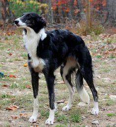 silken windhound photo | Silken Windhound. | ♫ I Love My Dog ♫