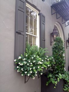 Charleston window box - ferns (Kimberly?) & white begonias - very doable