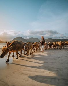 Holiday Destinations, Travel Destinations, Swimming Pigs, Bali Holidays, Lombok, You Really, Travel Inspiration, Camel, Tourism