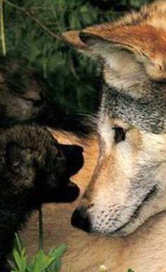 """Es sieht so aus, als würde Mama Wolf genau zuhören, was ihr der """"Zwerg"""" gerade erzählt!?!?"""