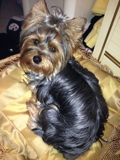 Sydney yorkie, could be my lexi s twin