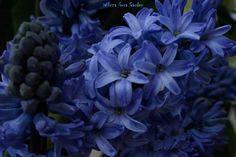 Hiacynt (Hyacinthus L.)
