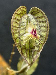 Lepanthes saltatrix