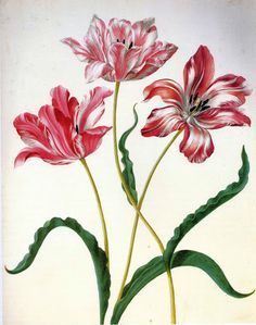 Maria Sibylla Merian, Three tulips - Pencil and transparent/opaque water-colour on parchment, Two red-and-white striped tulips stand at each side of another red-and-white striped blossom in the centre of the painting. The latter is taller & has a curved stem. The work is reminiscent of the tulip books and individual water-colour depictions of tulips done during the 1630's.
