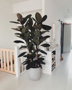 Rubberplant woonkamer Fake Plants, Potted Plants, Garden Plants, Indoor Plants, Interior Garden, Interior Plants, Home Interior, Ficus Elastica, Rubber Plant