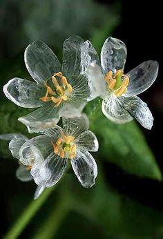 """サンカヨウの花。雨に濡れるとガラス細工のように透明になるんだそう。美しい! """"Diphylleia grayi"""" (Skeleton flower), Gray's Diphylleia or Umbrella Leaf ~ The petals become transparent with the rain."""