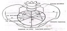 Distantia spinarum - Поиск в Google