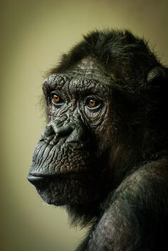 What a wise face on this Chimpanzee