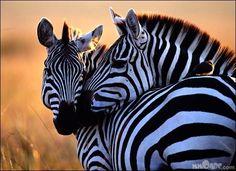 Animals in Love - MMOABC