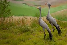 The International Crane Foundation in Wisconsin has a number of crane from around the globe.  These are blue crane, native in South Africa.