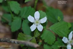 Northern dewberry, native to the eastern half of the USA, Ontario, Quebec, Nova Scotia, and west into Nebraska, Kansas, Oklahoma, and Texas. Tends to like the same habitat as poison ivy, so watch out!