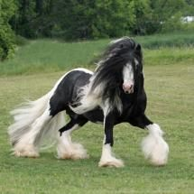 Gypsy Vanner Horse running through Meadow