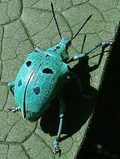 turquoise beetle