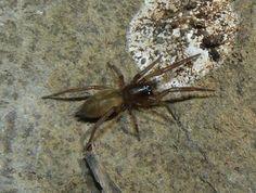 Haplodrassus dalmatensis Heath grasper Spiders, Animals, Animales, Animaux, Spider, Animal, Animais