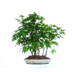 Acheter en Ligne ce Magnifique Bonsai Acer Palmatum Yama-Momiji Forêt 130501, en Vente chez Sankaly Bonsaï votre Spécialiste du Bonsai