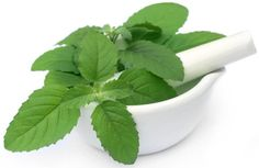 Tulsi is worshipped by Hindus and it is an herb with a lot of medicinal values and uses. It is used as a main ingredient in almost all medicine prepared in Ayurveda. This herb is considered sacred in Ayurvedic traditions for its healing properties. It is one of the best plants to treat for acnes, pimples and blemish of skin. The paste of Tulsi is a great way getting rid of pimples.
