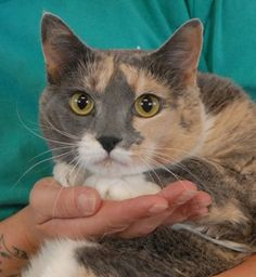 NAMI~ <3  Kind, sensitive girl, gorgeous blue & cream & white (dilute calico) shorthair, spayed, 6 yrs. FINE w/ other CATS.  A quiet adult-only home is preferred. She reportedly gets anxious around children & loud adults.  She needed us when her previous owners lost their home to a fire. Nevada SPCA 4800 W. Dewey Drive, Las Vegas, NV 89118