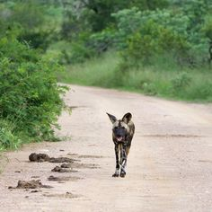 Wilddog by Isabel Display Advertising, Print Advertising, Marketing And Advertising, Kruger National Park, National Parks, Retail Merchandising, Us Images, Wall Art Prints, Wildlife
