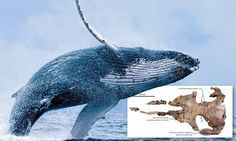 The 'Barry White of the ocean': Researchers reveals whales have been singing low frequency songs for far longer than thought    Read more: http://www.dailymail.co.uk/sciencetech/article-4257764/whales-singing-low-frequency-songs-for.html#ixzz4ZrYN0VMP  Follow us: @MailOnline on Twitter | DailyMail on Facebook