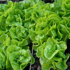 Thumb seeds tom lettuce
