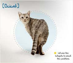 A large, active animal, the Ocicat is athletic and well-muscled. His short, satiny coat can come in many colors, but spots are always present. He may look like a wildcat, but the Ocicat is dog-like in his devotion to his family. He is confident and extroverted, good with strangers and new playmates alike. He prefers not to be left alone for long periods, and will do well with other cats or dogs to keep him company.