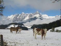 Vacas, vacas hehhhee. Cow, Animals, Cows, Cattle, Photos, Animaux, Animal, Animales, Animais