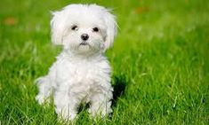 The Bichon Frise is a cheerful, small dog breed with a love of mischief and a lot of love to give. With his black eyes and fluffy white coat, the Bichon looks almost like a child's toy.America's top dog is a bichon frise. Maltese Dog Breed, Maltese Puppies For Sale, Havanese Dogs, Cute Puppies, Cute Dogs, Dogs And Puppies, Maltese Poodle, Toy Dogs, Big Dogs