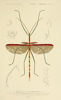 phasmatodea illustration - Cerca con Google