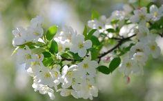 White blossoms wallpaper