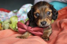 Shaded Red Longhair Miniature Dachshund puppies for sale Texas Dachshund Funny, Dachshund Breed, Dachshund Puppies For Sale, Long Haired Dachshund, Daschund, Dachshund Quotes, Cream Dachshund, Funny Puppies, Best Apartment Dogs