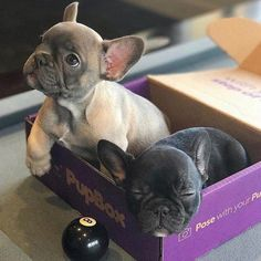 """Obtain wonderful suggestions on """"French bulldog"""". They are on call for you on our site. Obtain wonderful suggestions on French bulldog. They are on call for you on our site. Cute French Bulldog, French Bulldog Puppies, Cute Dogs And Puppies, Baby Dogs, I Love Dogs, French Bulldogs, Doggies, Pet Dogs, Cute Little Animals"""