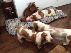 Bassett Hound, Beagle Mix, Rogues, Puppy Love, Cute Puppies, Fur Babies, Cocoa, Sassy, Bliss