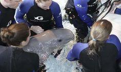 Baby beluga whale born at Georgia aquarium dies - DAWN.COM #Beluga, #Whale, #Wildlife #Science